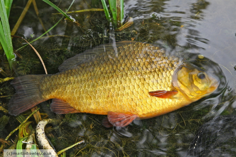 Martin Bowler's classic crucian goes back into a local lake.