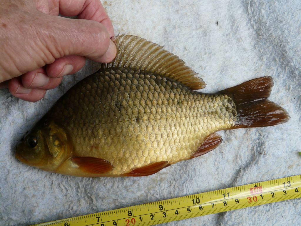 Another true crucian from one of my ponds
