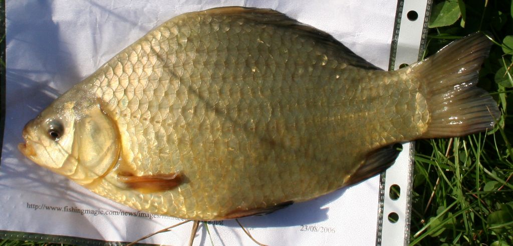 A Todber Manor Fishery crucian